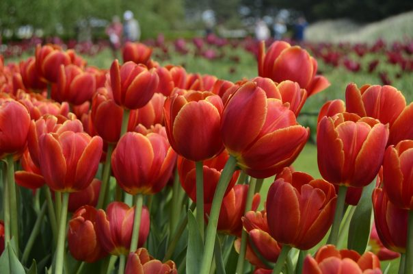 花卉、郁金香、花园