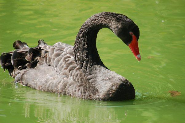 黑天鹅、鸟、水禽