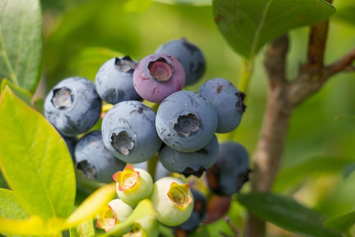 新鲜的蓝莓