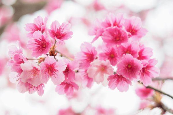 粉红的樱花