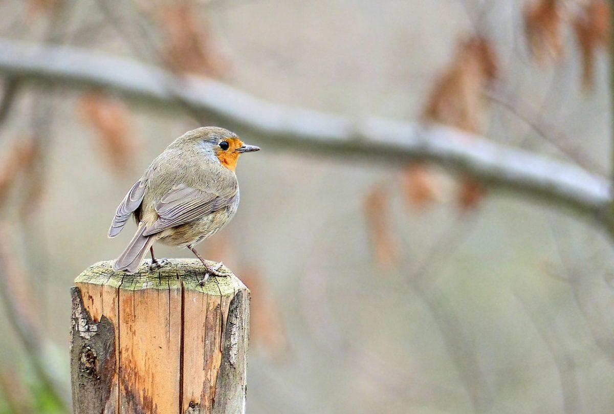 一只知更鸟(歌鸲)