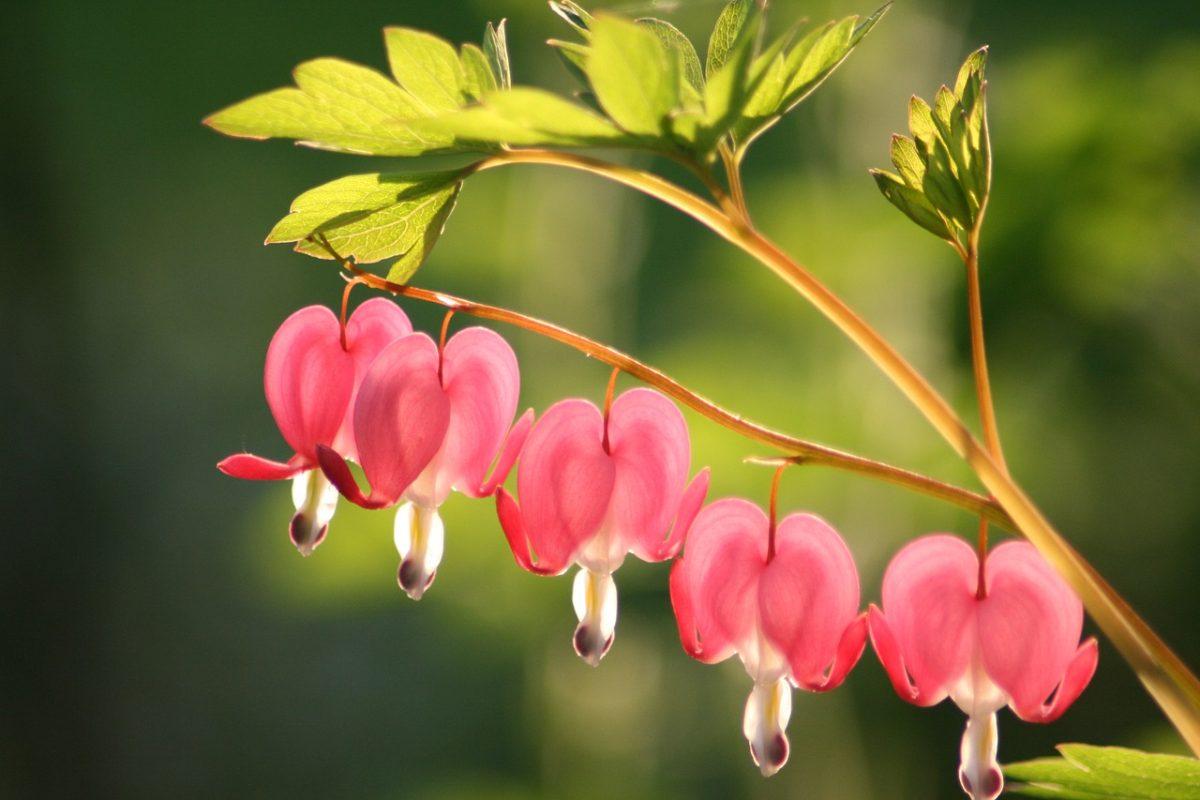 流血的心、花、开花