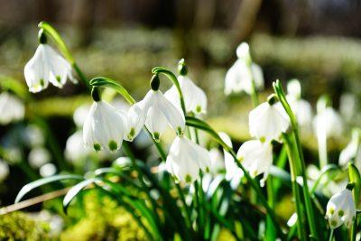 白色的雪钟花植物图片