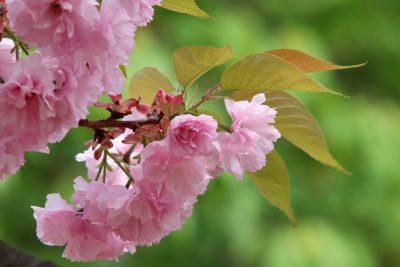 春天的粉色樱花