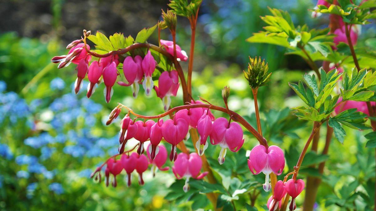 流血的心、鲜花、粉红色