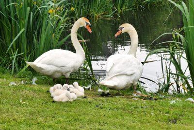 池塘边的天鹅图片