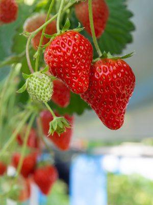 草莓、红色、草莓采摘