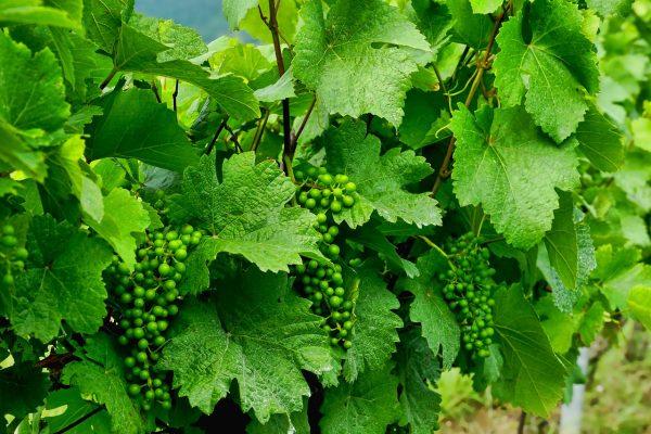 葡萄树绿叶与未成熟的平台