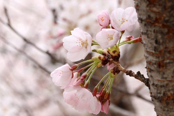 樱花花朵盛开
