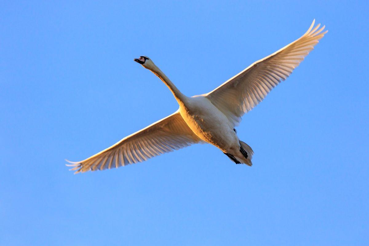 展翅飞翔的白天鹅