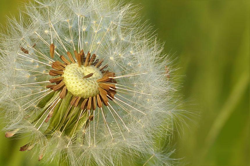 蒲公英、草地、花