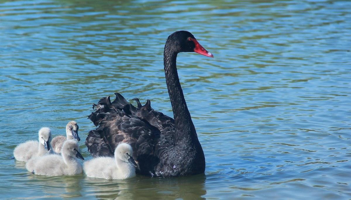 黑天鹅与鹅雏