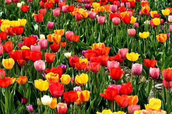 郁金香、鲜花、丰富多彩