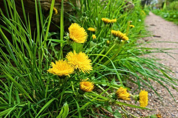蒲公英、花、植物