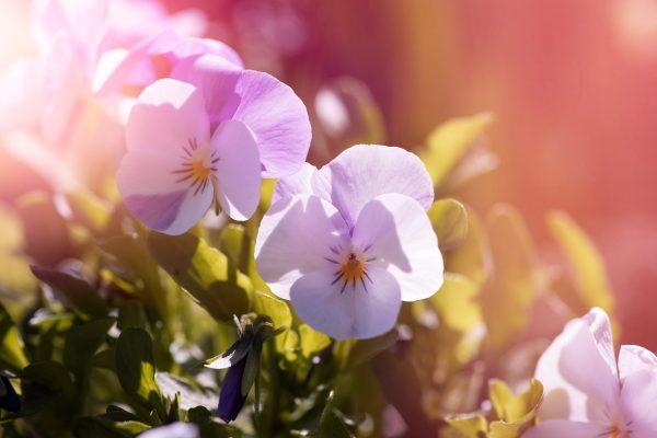 阳光下的三色堇唯美图