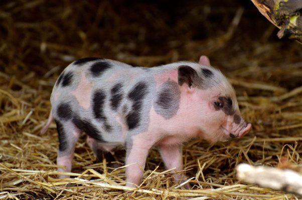 一只小花猪