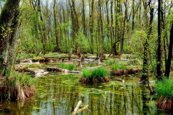 春天森林里的沼泽风景图片