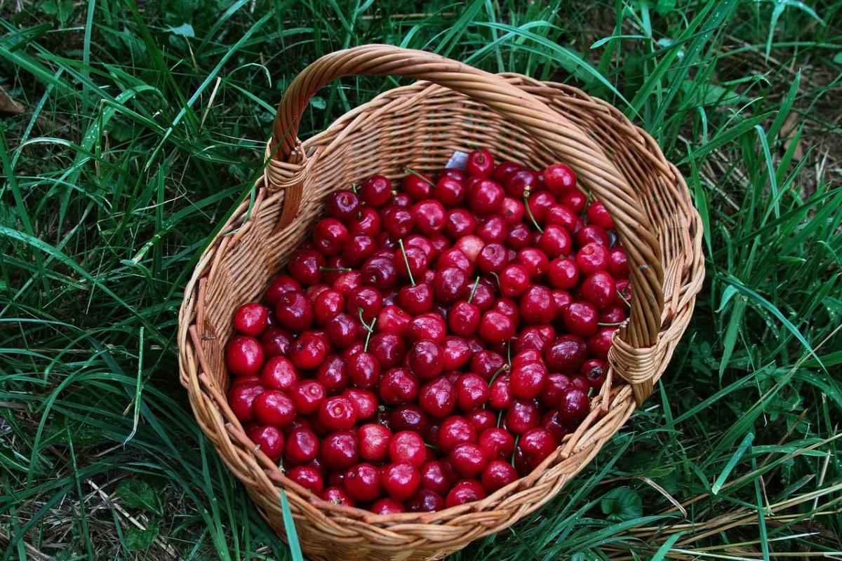 篮子里刚采摘的樱桃