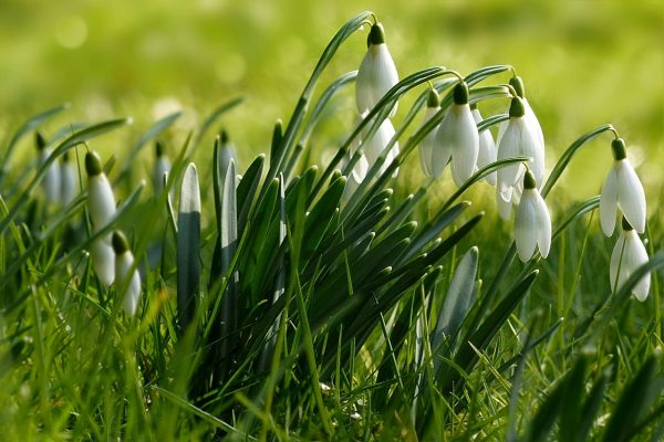 雪滴花花朵植物图片