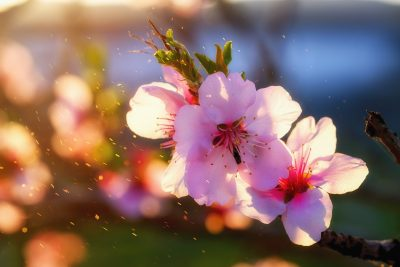 春天阳光下的桃花特写