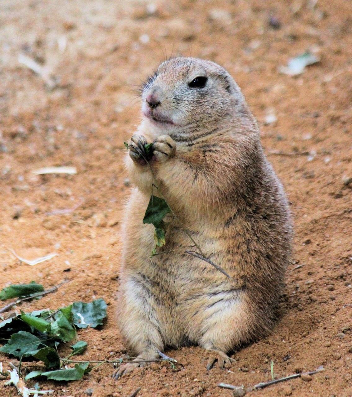 土拨鼠、啮齿动物、动物