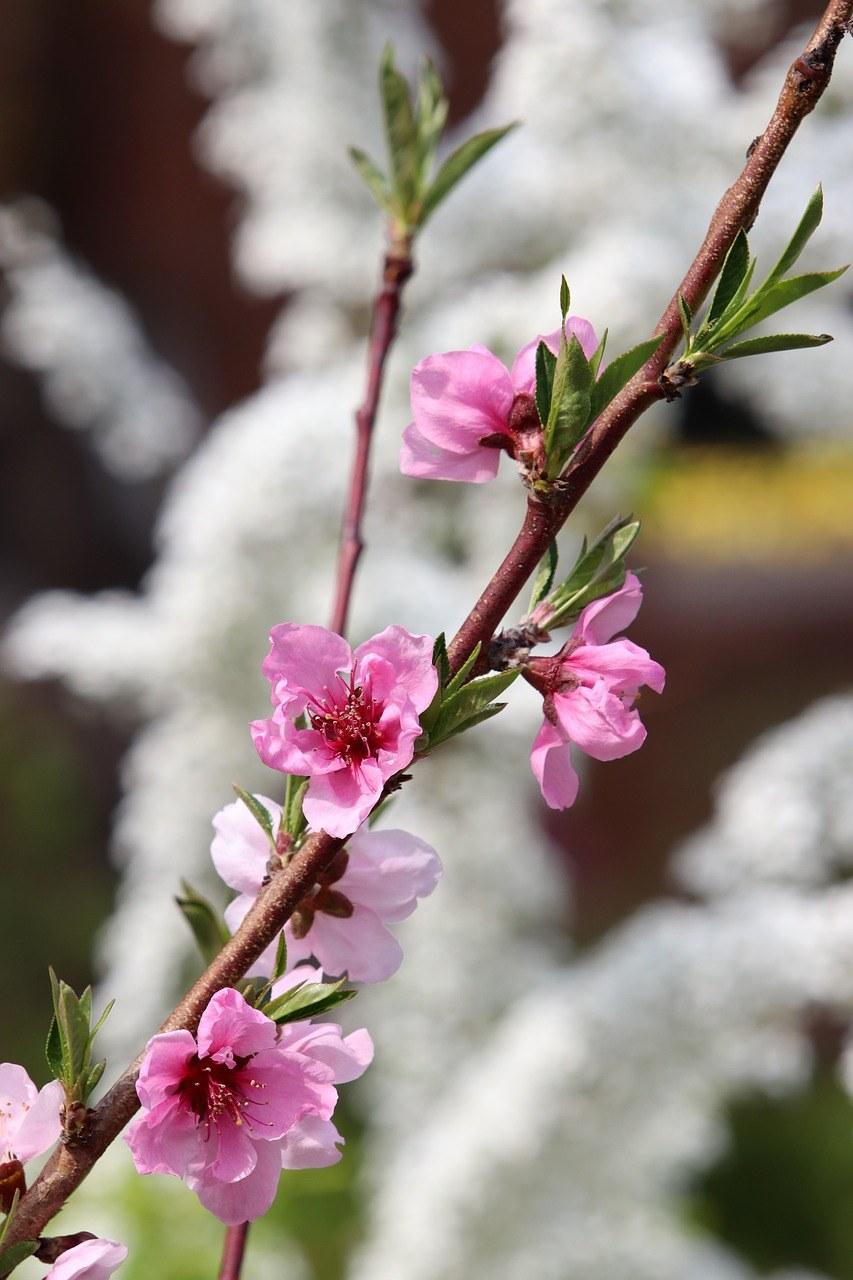盛开的一只桃花