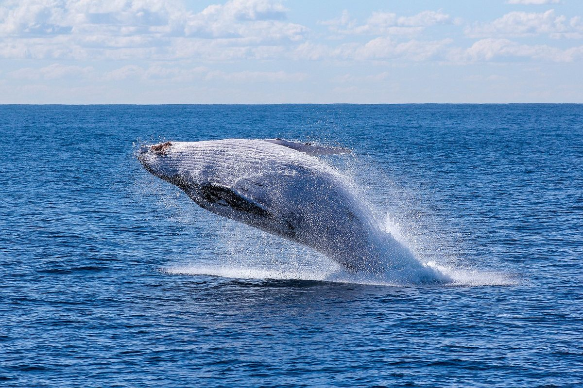 跳跃出海面的蓝鲸