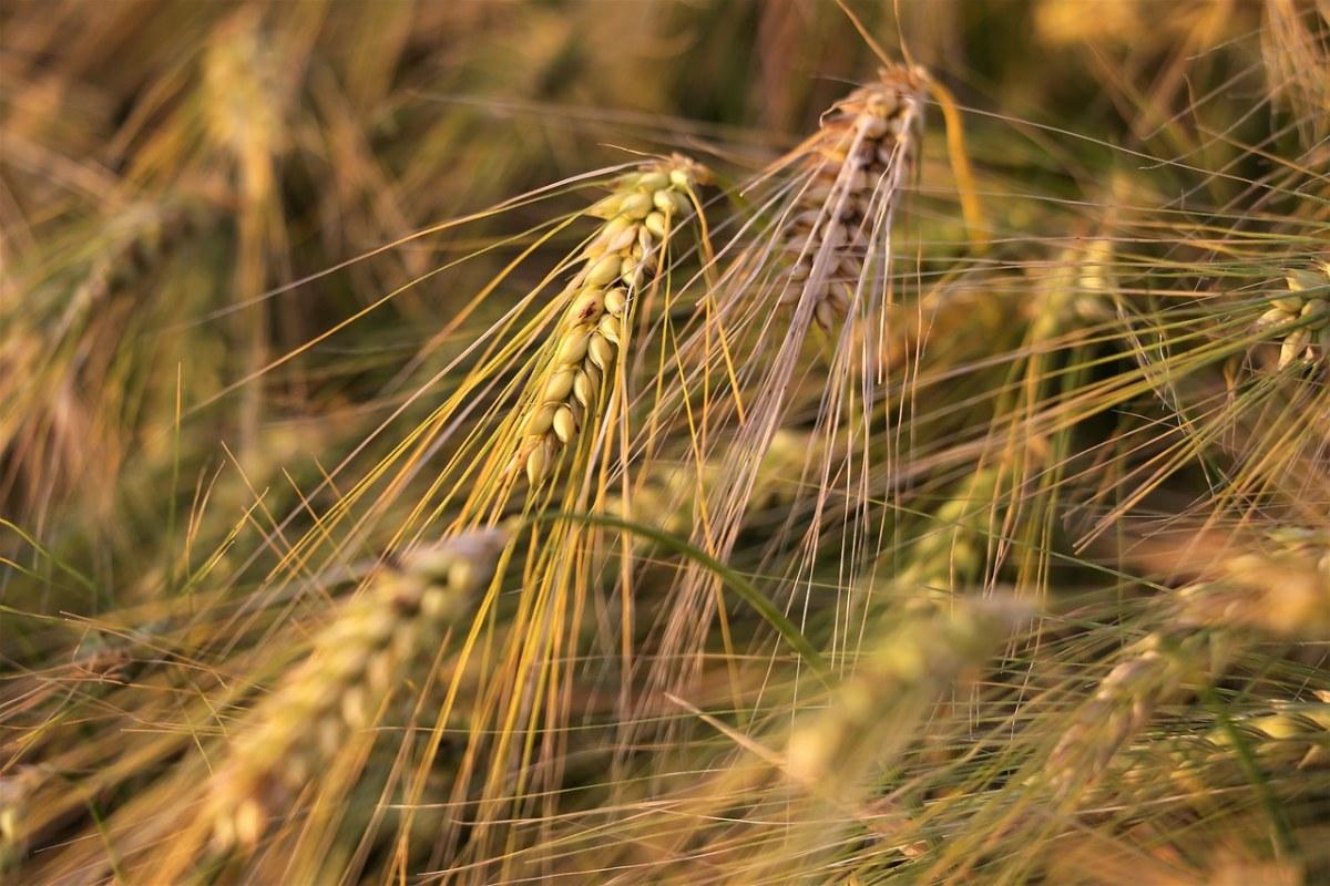 农业、大麦在风、植物