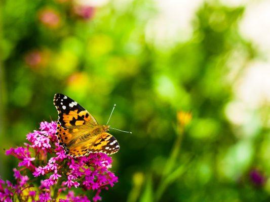 蝴蝶采花的背景图片