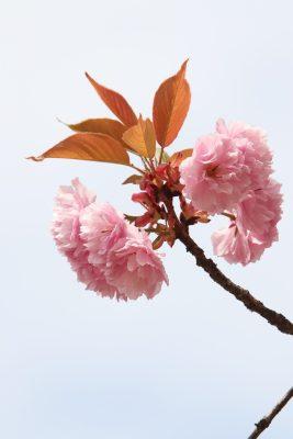 粉色的观赏樱花