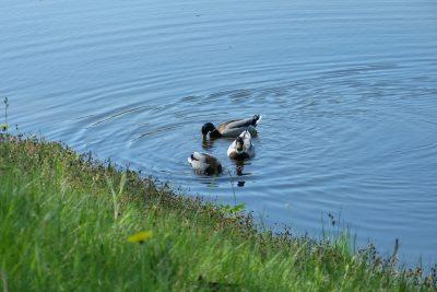 湖中的三只野鸭