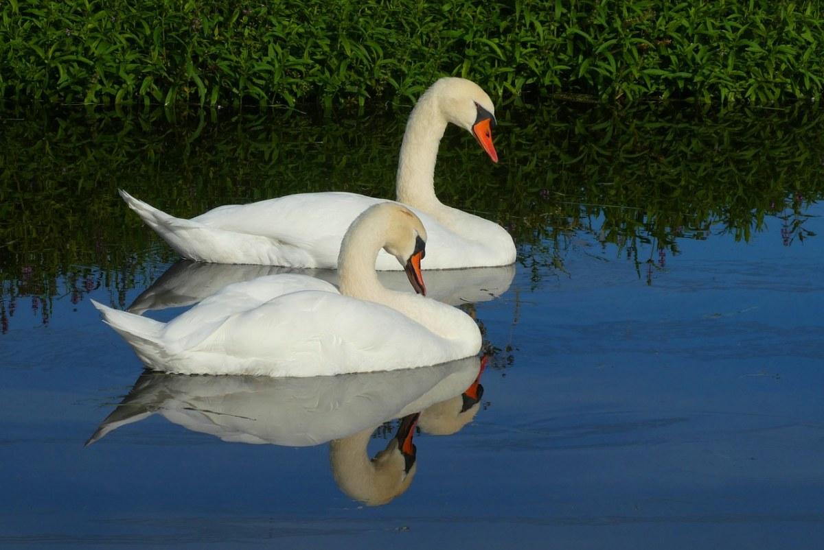 两只白天鹅