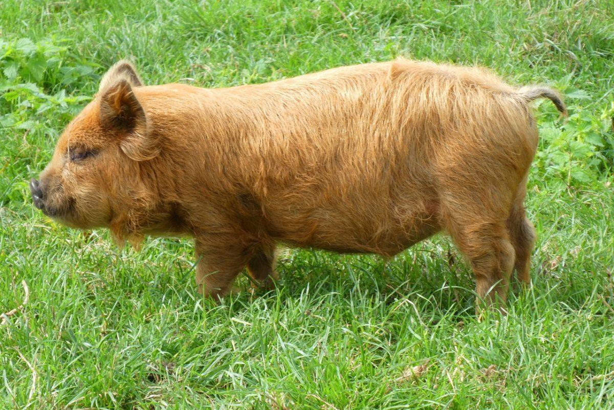 草地上的一只小猪