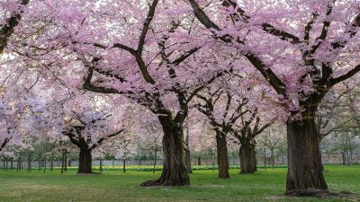 春天的樱花树林风景图片
