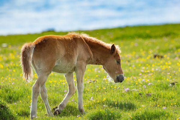 草地上的小马驹