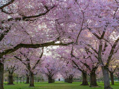 开花的樱花树