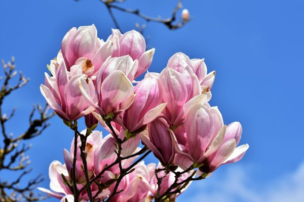 玉兰、白玉兰树、鲜花