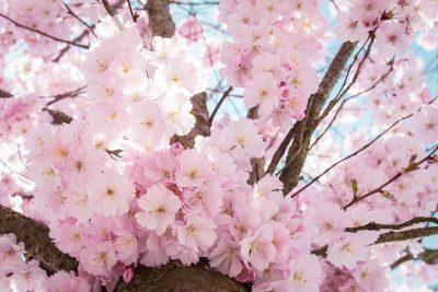 娇艳的粉色樱花
