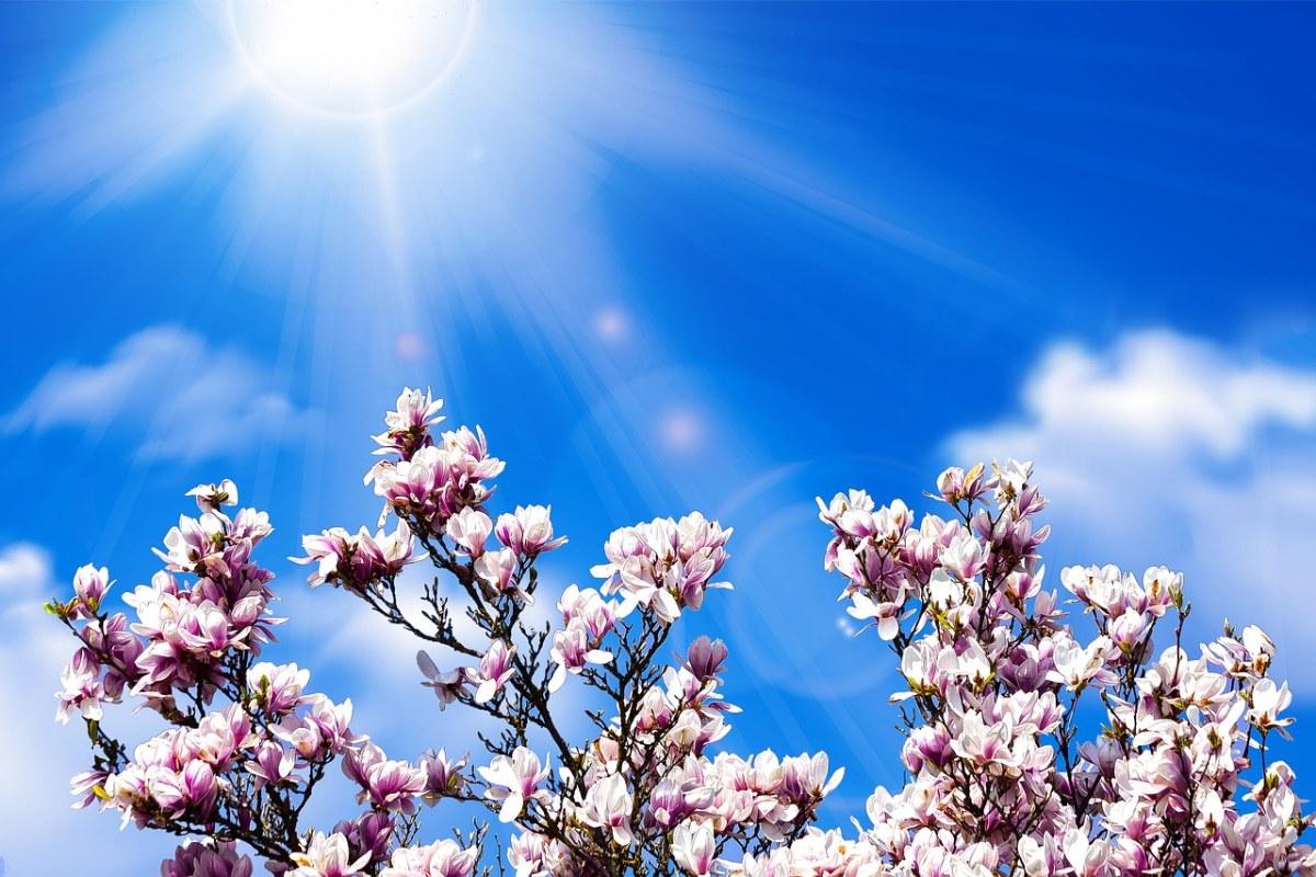 春暖花开时阳光下的玉兰花