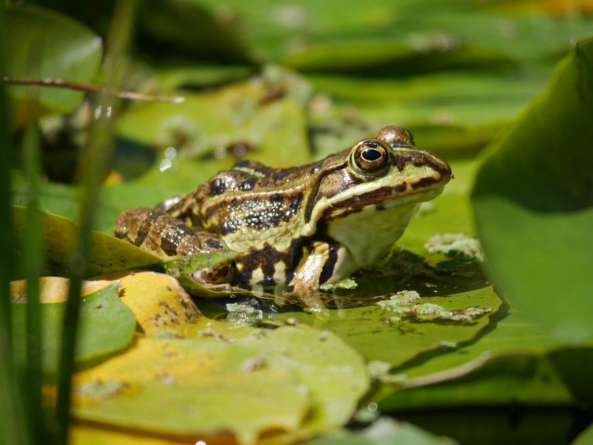 池塘绿叶上的一只青蛙