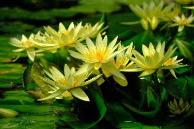 黄色的睡莲花