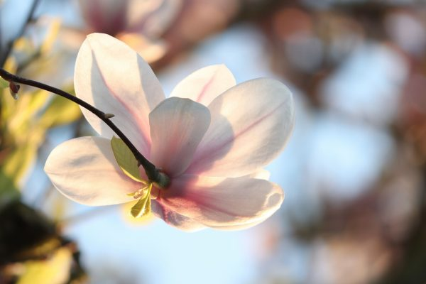 一朵白色的玉兰花