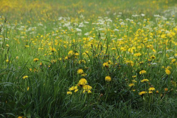 草、草甸、蒲公英