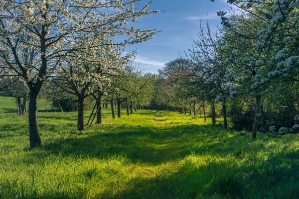果园的果树开花与绿色草地