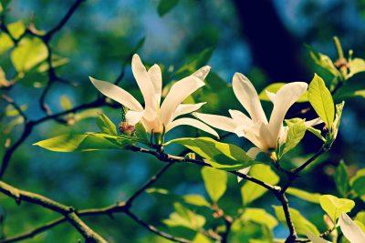 玉兰树上两朵洁白的玉兰花