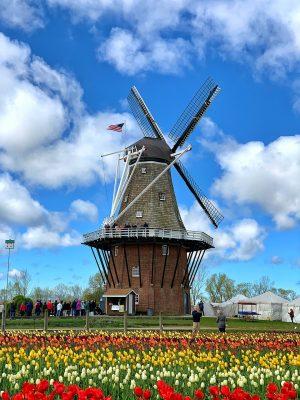 荷兰、郁金香、春