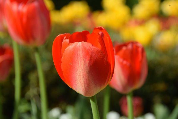郁金香、鲜花、春天