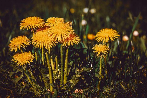 蒲公英、花、黄色