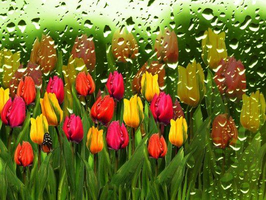 郁金香、滴水滴、如花