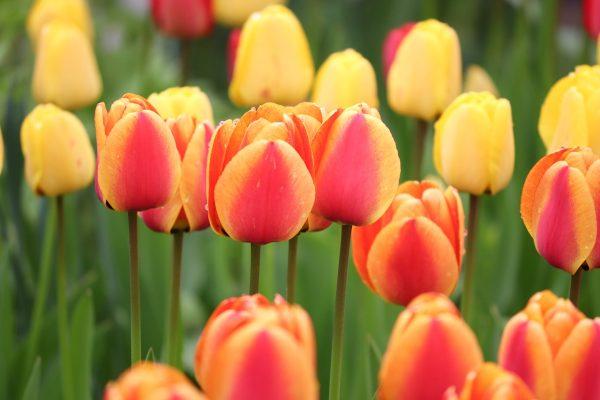 郁金香、橙、黄色
